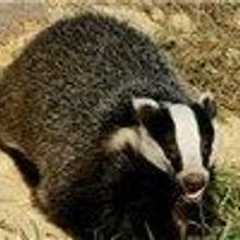 UK Badger Culls Slammed
