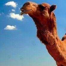 MERS Common in Camels
