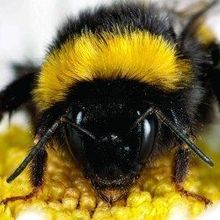 Wild Bees Catch Honeybee Disease