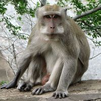 More Monkeys With Edited Genomes
