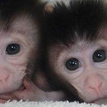 First CRISPR-Tinkered Primates Born