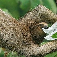 Moths Are a Sloth's Best Friend