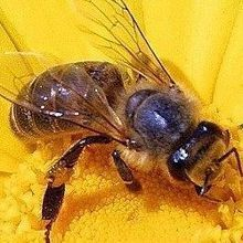 New Suspect in Bee Colony Collapse