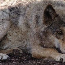 Dog-Wolf Split