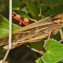 Gut Microbes Prevent Locust Swarms