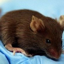 Common Lab Mice Differ