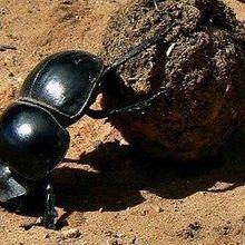 Dung Beetles Navigate by Sunlight