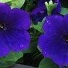 Petunia pH