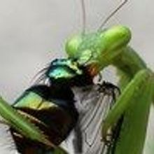 Image of the Day: Hungry Mantis