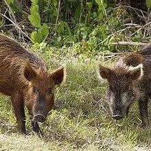 Virginia Targets Wild Pigs