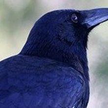 Birds Carry Resistant Bacteria