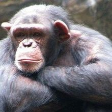 Chimp Retirement on Hold