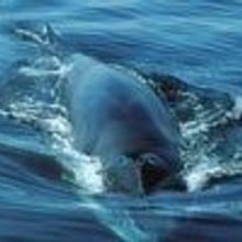 Cetacean Cacophony