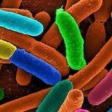 Gut Microbe Diversity, Weight Linked