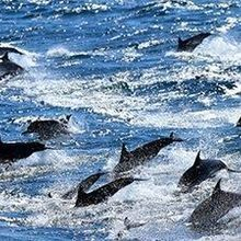 Virus Blamed for Dolphin Deaths