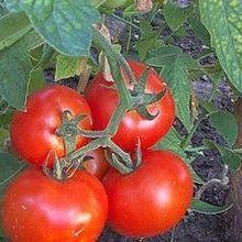 Opinion: Restoring Tomato Flavor
