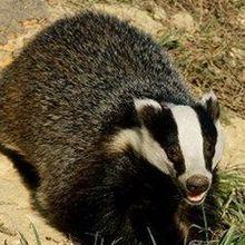 UK Badger Cull Begins