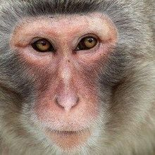 Monkeys Accept Virtual Arms as Own