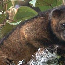 New Carnivorous Mammal Discovered