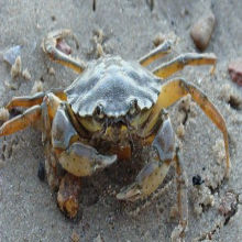 Do Crustaceans Feel Pain?