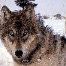 Identifying Wolves by Their Howls