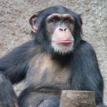 NIH to Cut Back on Chimp Research