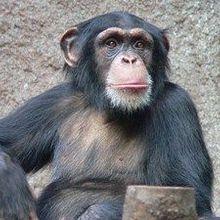 US Chimps May Get Endangered Status