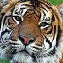 Dog Disease Threatens Tigers