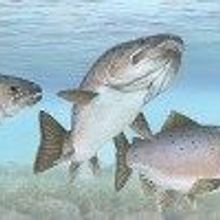 GM Salmon and Wild Fish Can Reproduce
