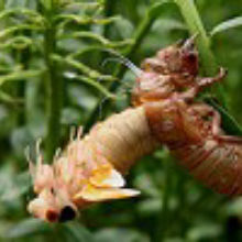 How Do Cicadas Know When to Emerge?