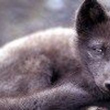 Arctic Foxes Suffer from Seafood Diet