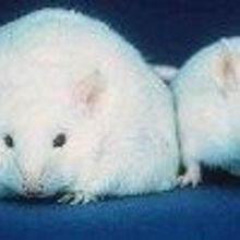 Fat Hormone Controls Diabetes