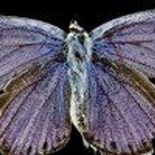 Image of the Day: Endangered Butterfly