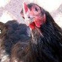 Chicken Virus Attacks Cancer Cells