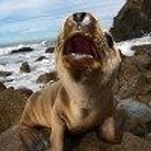 Mysterious Sea Lion Stranding Continues