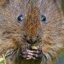 Bridges for UK Water Voles