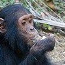 Great Ape Research Decision