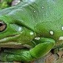 Native Frogs Beat Invasive Toads