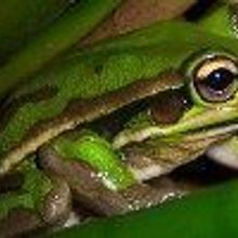 Opinion: Paradoxical Amphibians