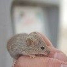 Why Mice Like Massages