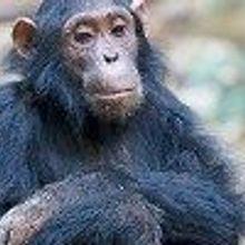 NIH Chimps Pushed Toward Retirement
