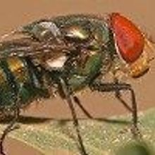 Fly Guts Reveal Animal Inventory