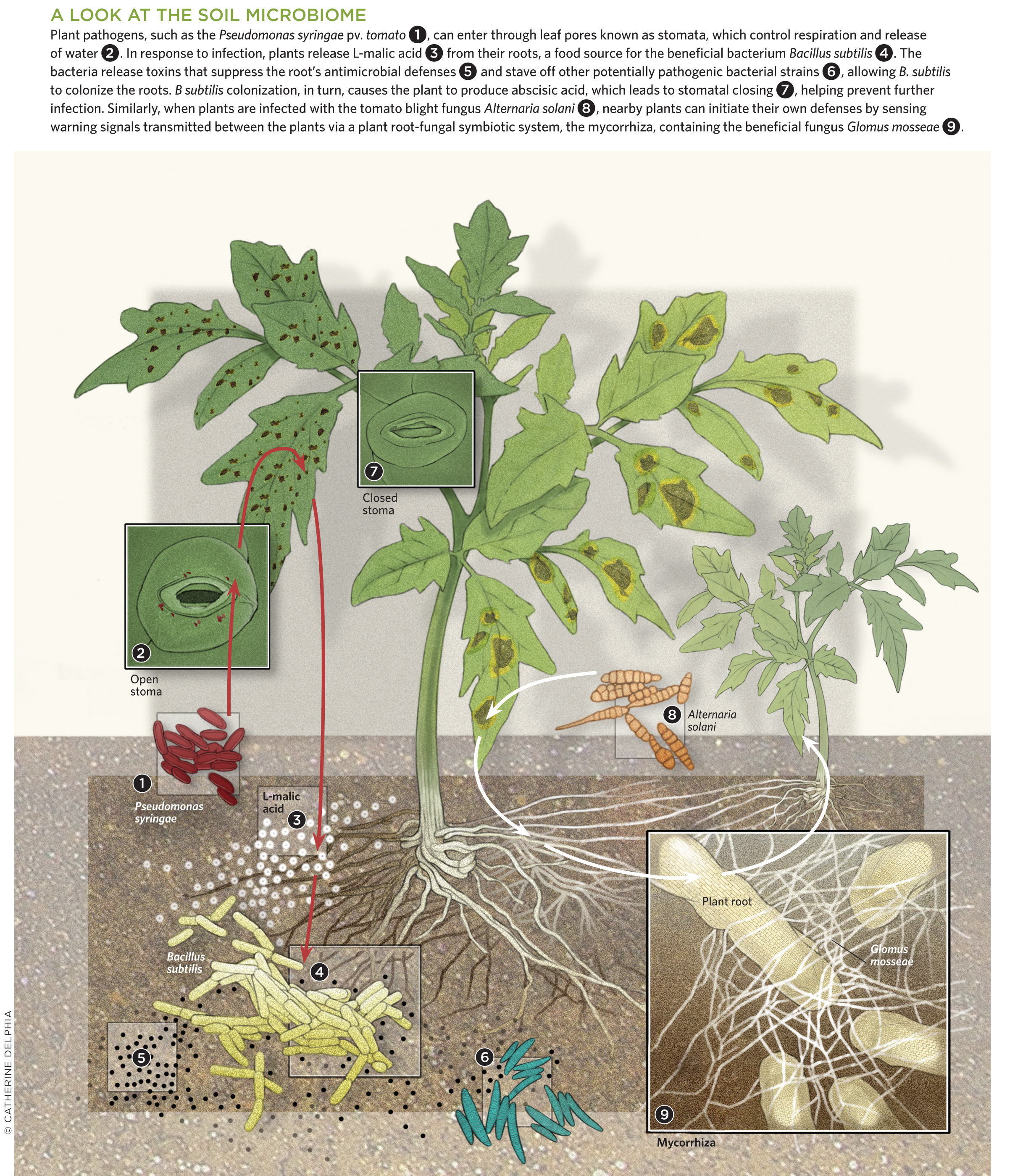 Fighting Microbes With The Scientist Magazine This Simple Plant Water Alarm Circuit Indicates When Soil Is Dry A Look At Microbiome View Full Size