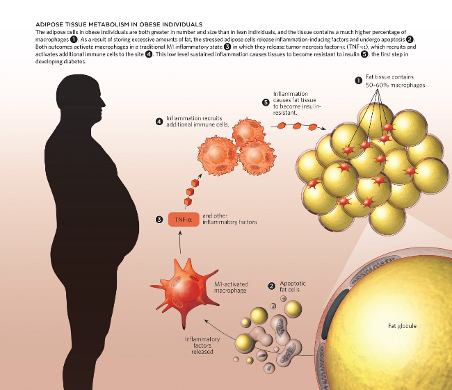 Adipose Tissue Metabolism In The Obese The Scientist Magazine