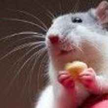 Rats Get Placebo Effect