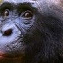 Embattled Ape Researcher Reinstated