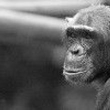 Chimp Patents Challenged