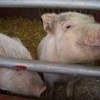 Pigs Raise Blood Pressure