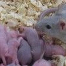 Mouse Eggs Made with Stem Cells