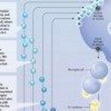 The Cytokine Cycle
